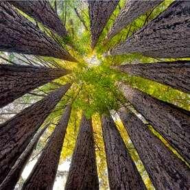 Redwood trees in Muir woods (2)
